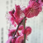 Blüte_Tokyo